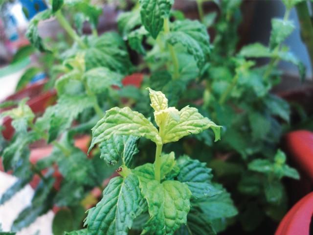Mint Gardening