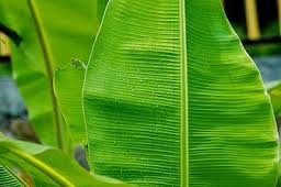 Banana Leaf Could Treat Serious Burns